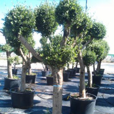 High quality olive trees